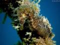 Perfect mimicry!!!! --- Mediterranean Seahorse