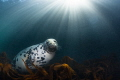 Atlantic Grey Seal and Sun Rays, Lundy Island