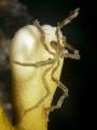 Caribbean Sea Spider