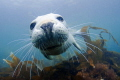 Grey seal pup off Lundy Island