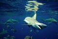 Black Tip Shark, Nikon d7000