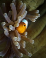 Clownfish looking out from a closed anemone.