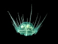 freshwater jellyfish