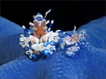 Harlequin shrimp on blue sea star.