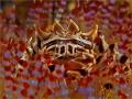 Japanese warlords helmet... ...or Zebra crab on sea urchin?  Have fun watching.