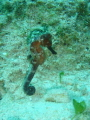 Male seahorse on a shore dive at the dive shop.