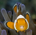 clown fish with parasite in the mouth,nikon D800e,105 macro,gannga island
