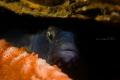 Gobius Niger hiding in a shell