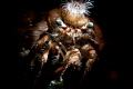 Anemon crab