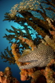 A honeycomb moray in a green tree coral.