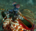 Mantis shrimp close up