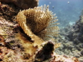 Feather duster worm Sabellastarte Indica