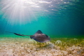 A stingray glides along the flats off the coast of Man O War Cay in the Bahamas.