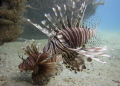 Here too- we have Lion fish at the Blue Heron Bridge too.