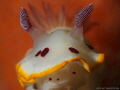 Chromodoris splendida, Fly Point