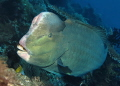 a rarely very close encounter with a bumphead parrotfish
