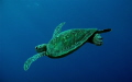 Young Green Turtle Chelonia mydas