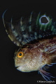 Blennius ocellaris, night dive