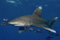 His Majesty is coming - Oceanic Whitetip in the Red Sea