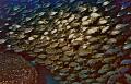 Fish shoal in Isla del Hierro, Canary Islands (Spain)
