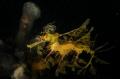 Leafy Seadragon...