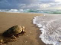Loggerhead Turtle headed back to the water after nesting on Mabibi Beach in northen KZN .