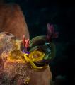 nudibranch lays eggs