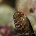 Gulf Signal blenny showing some 'teeth'