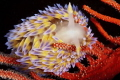 Gas flame nudibranch in its favourite habitat of a Palmate sea fan