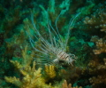 juvenile lion fish