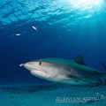 Tiger shark with shadow feeding little jacks