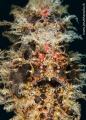 particular  Hairy Frogfish