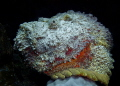 Stonefish - Portrait