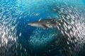 Sand tiger shark or Carcharias taurus, off the coast of North Carolina.