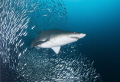 Sand tiger shark, Carcharias taurus off the North Carolina coast.