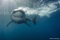 Great white shark approaching the cage - Isla Guadalupe
