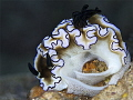 Nudibranch laying eggs