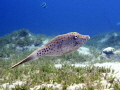 Scribbled leatherjacket  filefish  swimming over seagrass