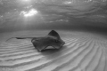 Rays at Dawn. /   A dawn snorkel at Sting Ray Sandbar is one of my favorites. The light is spectacular and adds to the ability to get great black and whites.