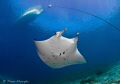 My First Manta. /  Each time I go into the ocean, I look forward with great anticipation to new encounters. While in Palau, Micronesia, I had such a first with a manta. Ascending to the surface at German Channel, a well known Manta cleaning station,