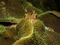 You can hide but ya' can't run....  Raggy Scorpianfish - Scorpaenopsis venosa. Ang Thong Marine Park, Thailand. EM5-250-f14-iso200-Oly 12-50mm @ 43mm Macro-Inon D2000