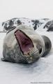Yawn savage - Terra Nova Bay - Antarctica