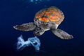 The similar appearance between plastic bags and jellyfish becomes a constant danger, as the turtles ingest them by mistake. Many of them die from asphyxia and from disease in their digestive system. This time we didn't let this eat the bag, but the o