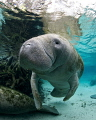 Manatee in the springs to keep warm