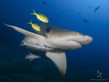 A lemon shark beautifully accented by 2 juvenile trevallies at Beqa Lagoon Fiji
