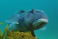 Blue cod Parapercis colias