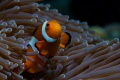 For those of you who have tried to shoot clownfish, you'll appreciate how many shots and trips it's taken me to finally get the shot I always wanted.