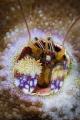 Coral Hermit Crab, portrait