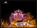 Candy Crab on Fire!!!! (Hoplophrys oatesii)  Compact Canon Powershot S100, Ikelite housing 2 x Inon Z240, Subsee +10 & Inon UCL165 Macro lens ISO80, f/8, 1/1000