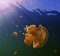 Jellyfish in Jellyfish Lake